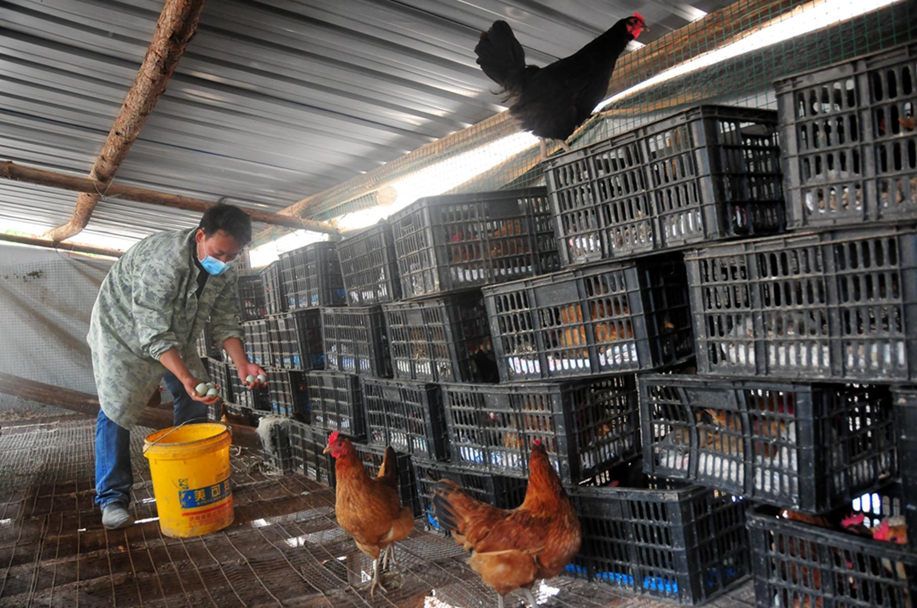 """山林养鸡场:农民的""""银行"""""""