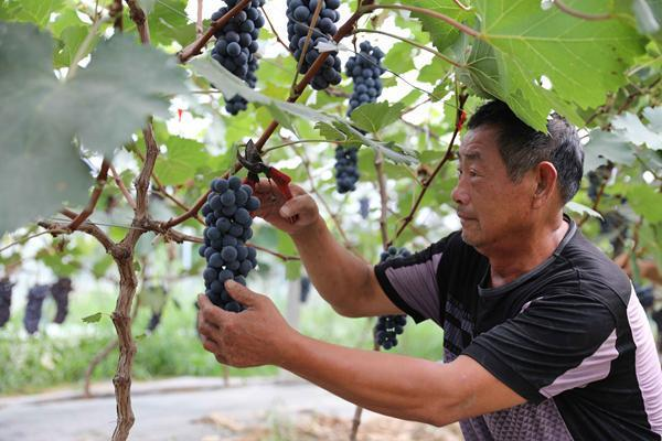 安徽滁州:扶贫葡萄喜丰收