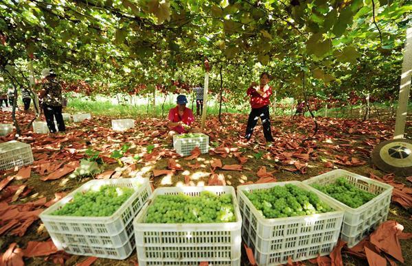 30日,果农在贵州省玉屏侗族自治县新店生态葡萄现代农业园区采摘