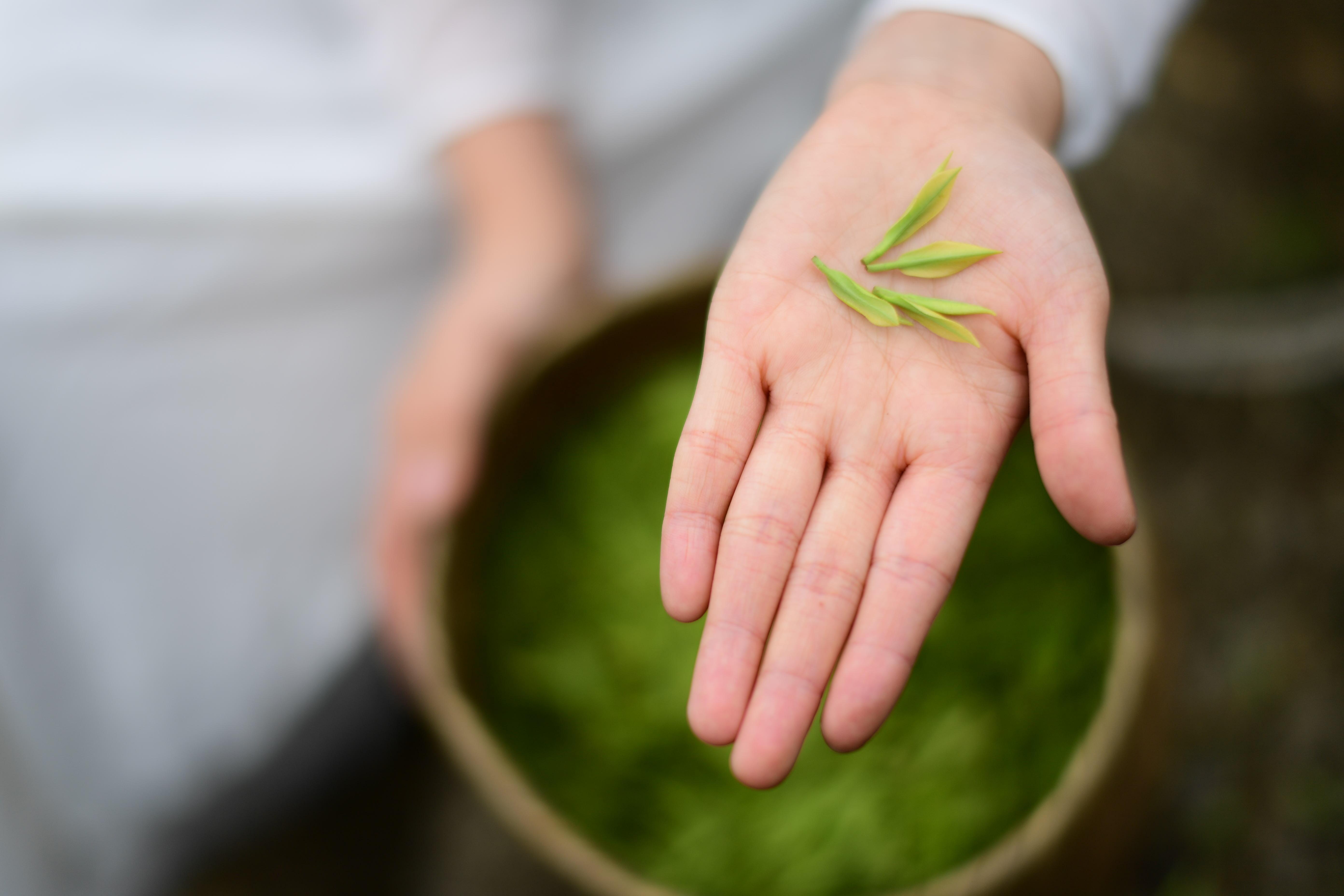 贵州余庆:20万亩茶叶开采