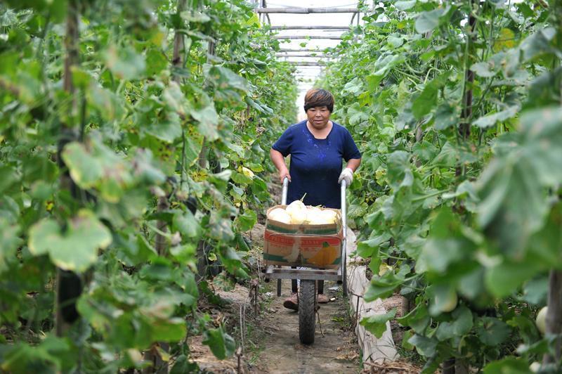 河北省青县将瓜菜产业作为带动农民增收的主导产业,通过优化种植结构