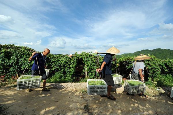 贵州玉屏 水晶葡萄抢 鲜 上市