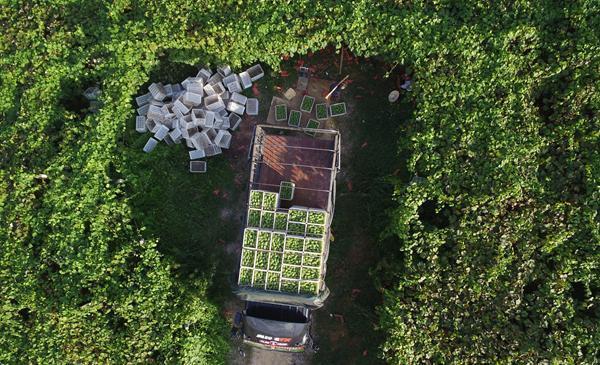 0日,收购商在贵州省玉屏侗族自治县新店生态葡萄现代农业园区装