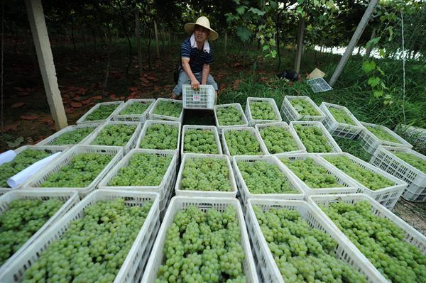 0日,收购商在贵州省玉屏侗族自治县新店生态葡萄现代农业园区搬