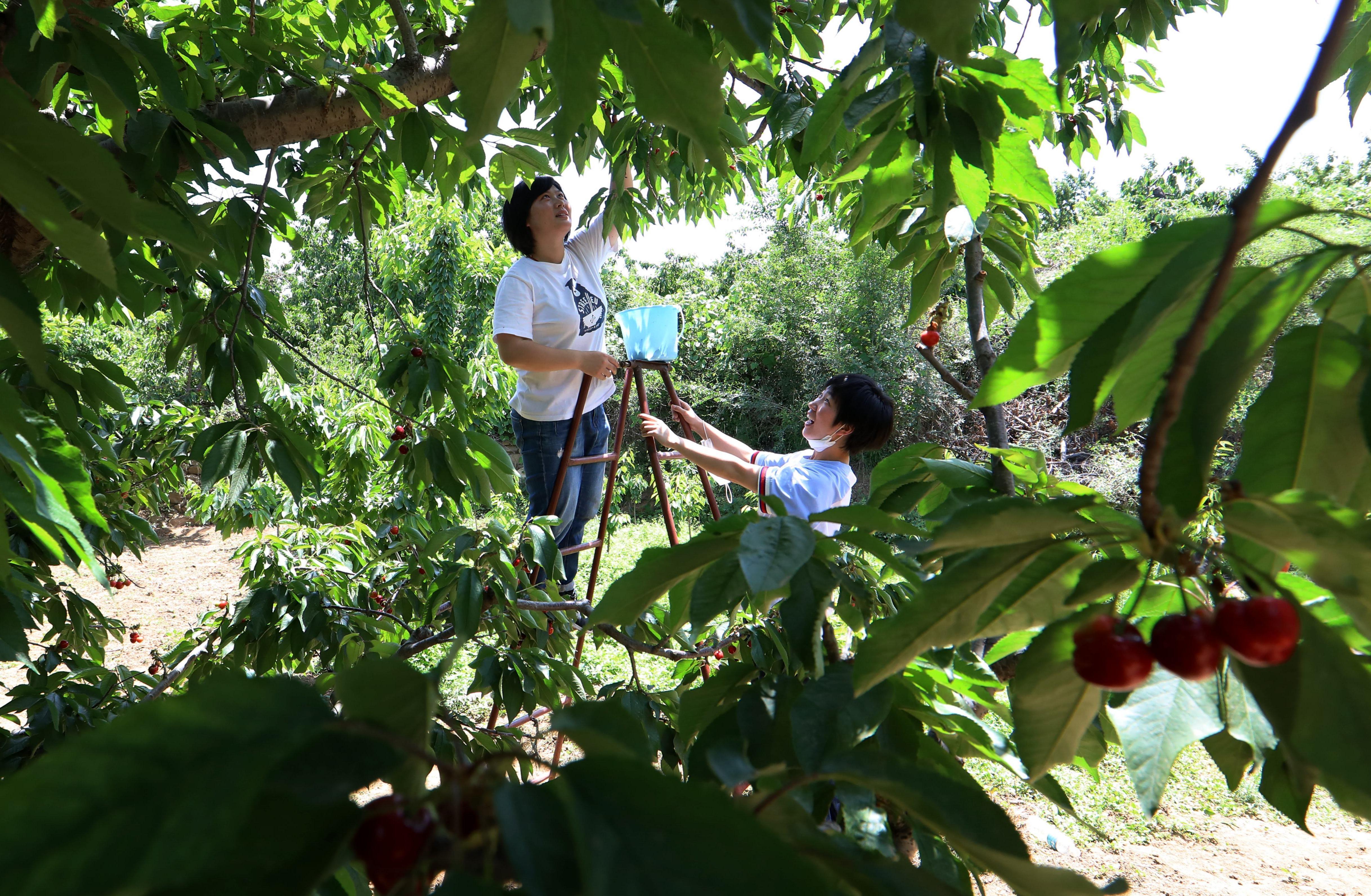 河北赞皇:樱桃丰产 农户增收