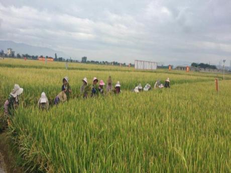 """个旧""""超级杂交水稻""""平均亩产创新高。[阅读]"""