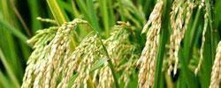 绿色超级稻背后有什么奥秘。[阅读]
