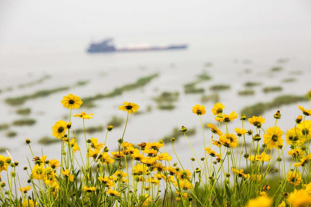 花开初夏鄱阳湖
